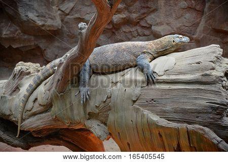 A komodo dragon laying on a log