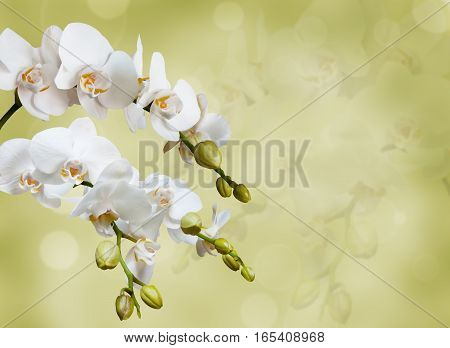 Beautiful white orchid flower phalaenopsis on green background