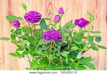 Violet Roses Flower Bush With Buds In A Brown Vase, Flowerpot,  Green Leaves, Close Up, White Backgr