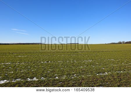 Young Wheat Crop With Snow