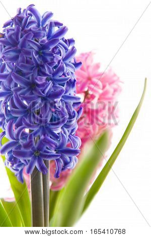 Spring blue and pink hyacinth flower on white background