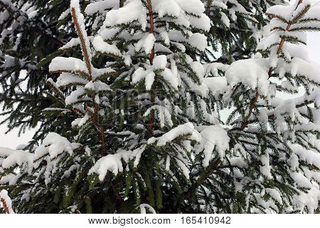snow-covered spruce branches of spruce in the winter closeup
