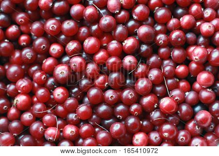 texture of natural ripe red cranberries collected in the swamp closeup
