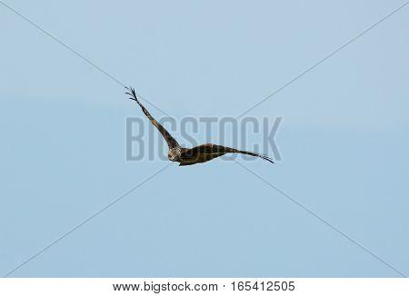 beautiful alone Black Kite (Milvus migrans) flying in the sky