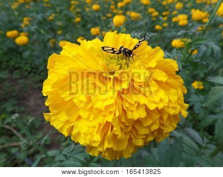 Beautiful bee collecting nectar on a blooming vibrant yellow Marigold flower
