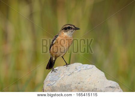 beautiful female Eastern Stonechat (Saxicola stejnegeri) standing on ground