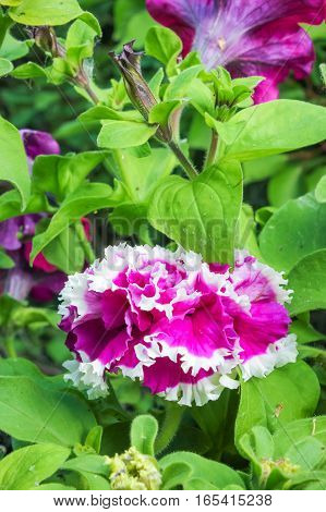 Purple petunia flowers and green leaves, floral background