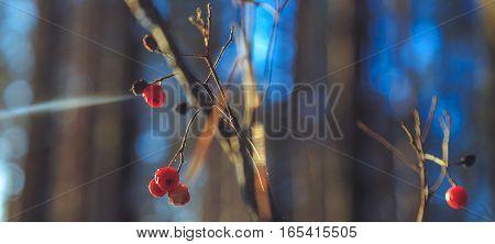 Frozen rowan berries in the sun in the winter forest