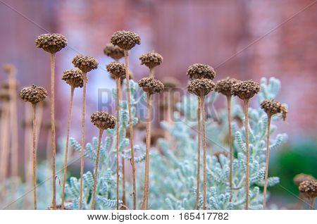 Cotton Lavender Santolina Chamaecyparissus Plant Background
