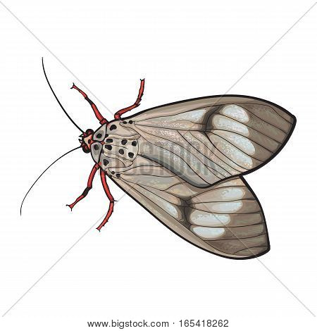 Top view of gray moth, sketch illustration isolated on white background. color Realistic hand drawing of moth butterfly insect on white background