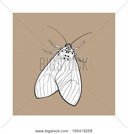 Top view of gray moth, sketch illustration isolated on brown background. black and white hand drawing of moth butterfly insect on white background