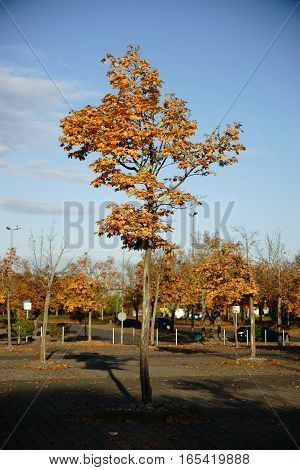 A young autumn tree stands in a parking lot of a shopping center.
