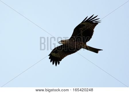 beautiful alone Black Kite (Milvus migrans) flying in the sky