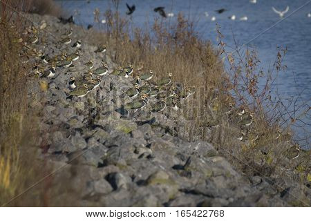 Group of lapwings resting on stone dam before taking of to their winter stay locations