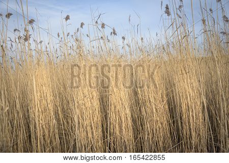 Reed waving in the wind sunlighted by golden colors against blue sky