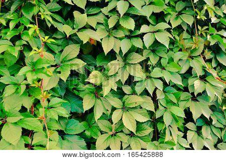 Wild Grape Green Wall Background
