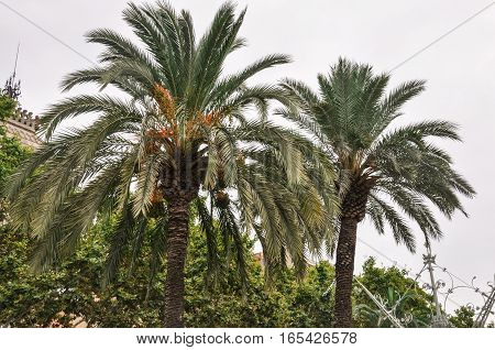 Branches of two coconut palm trees near Arc de Triomf in Barcelona Spain foggy day green and orange colors