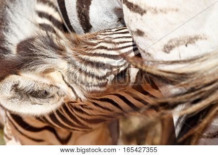 Baby Zebra Drinking From Her Mother