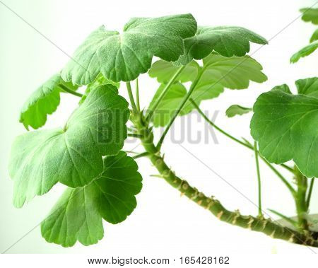 Cultivation succulent Pelargonium cultivation flora botany floristic bloom foliage flower growing