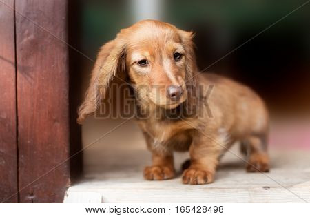 A beautiful dachshund puppy dog with sad eyes dog portrait