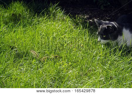 cat and chipmunk having stare down in green grass