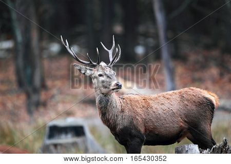 Portrait Of A Beautiful Deer With Antlers In The Autumn Forest