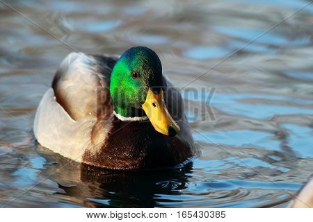 Portrait Of A Beautiful Drake Swimming In Pond