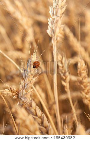 Ladybug on wheat closeup. wheat harvest in the field. ripe wheat closeup.