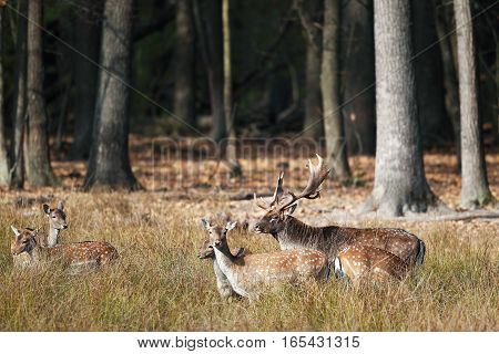 Handsome male deer with big antlers with a group of females