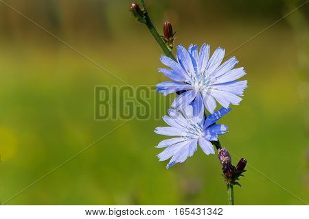Blue Flower On A Green Background Of Grass