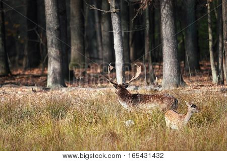 Male Deer With A Female Standing In A Clearing Wary