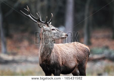 Malea Deer In The Autumn Forest