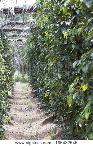 Pepper plantation in Kampot south of Cambodia