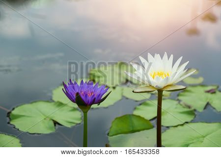 Lotus flower with sunshine Waterlily flower in pond