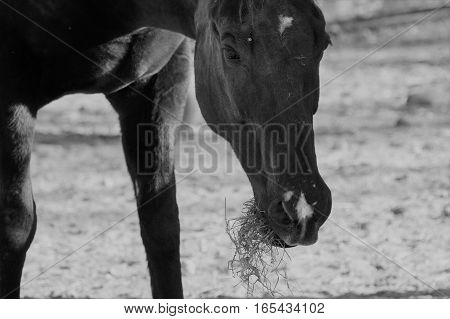 A black horse grazing during the afternoon