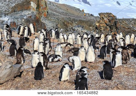 Chinstrap Penguins Colony Members Gathered On The Rocks, Half Moon Island, Antarctic