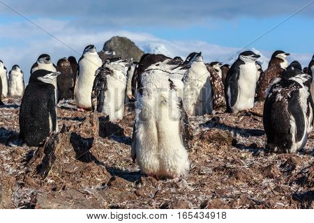 1Y Old Chinstrap Chick Penguin Standing Among His Colony Members Gathered On The Rocks, Half Moon Is