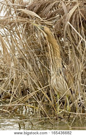 bittern hiding in the reeds of a lake