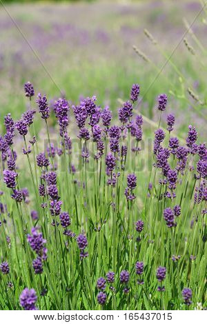 Background with flowers of lavender (lat. Lavandula).