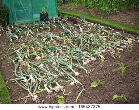 Onions laid over in rows and drying on the bare soil of an allotment. Some still in the ground not ripe enough for drying.