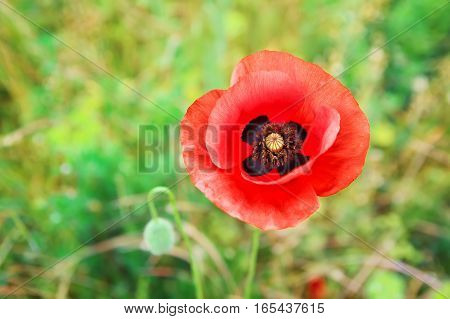 beautiful poppy flower. Blooming flowering poppy flower