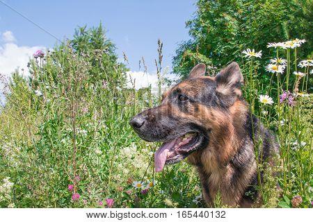 Dog German Shepherd And Grass Around In A Summer