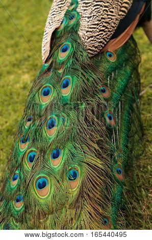 Blue and green male peacock Pavo muticus feather background up close
