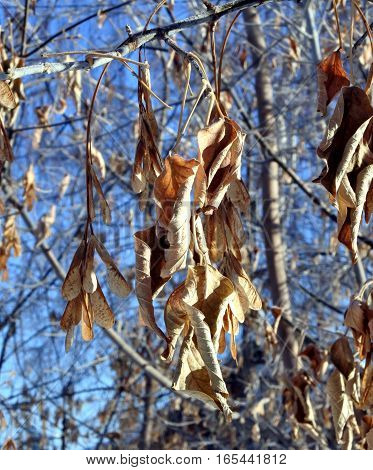 Dry leaves and seeds of a maple in the frost