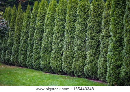 Arborvitae leaves background with a closely packed layer of evergreen fronds or foliage