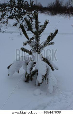 Small fir tree in snow field photo