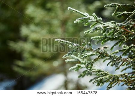 Spruce branch. Winter nature. Spruce needles. Fluffy Christmas tree. Blue spruce