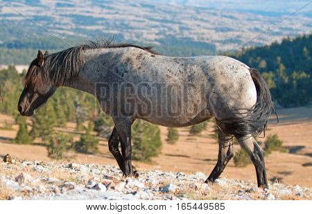 Wild Horse Blue and Red Roan colored Band Stallion in the Pryor Mountains Wild Horse Range in Montana - Wyoming USA.