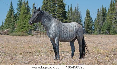 Wild Horse Blue Roan Band Stallion in the Pryor Mountains Wild Horse Range in Montana - Wyoming U S of A