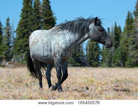 Blue Roan wild horse Band Stallion in the Pryor Mountains Wild Horse Range in Montana - Wyoming USA.